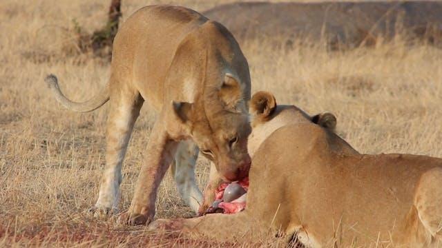 Safari Video