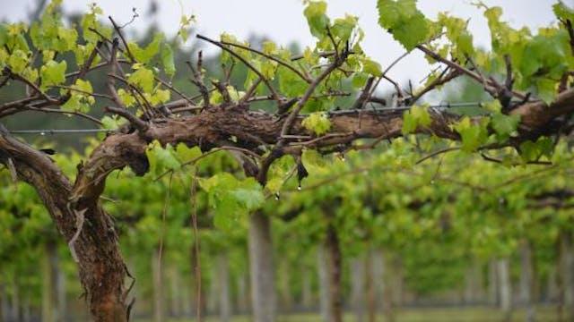 North Carolina Wine Series: Coastal Wineries and Family Roots