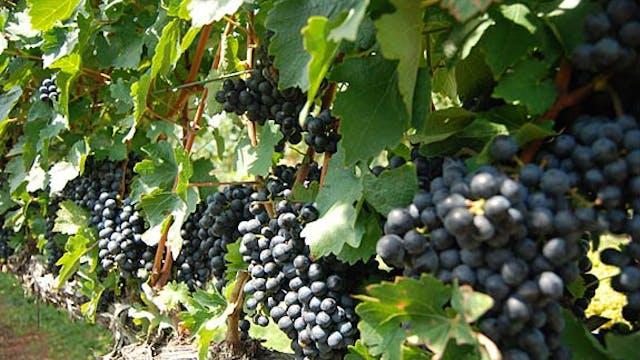 North Carolina Wine Series: Stomping this Year's Grapes