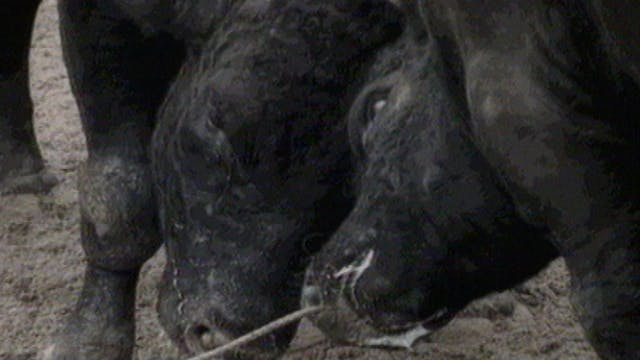 Chris Marker's Bestiary: Bullfight in...