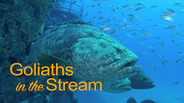 Goliaths in the Stream