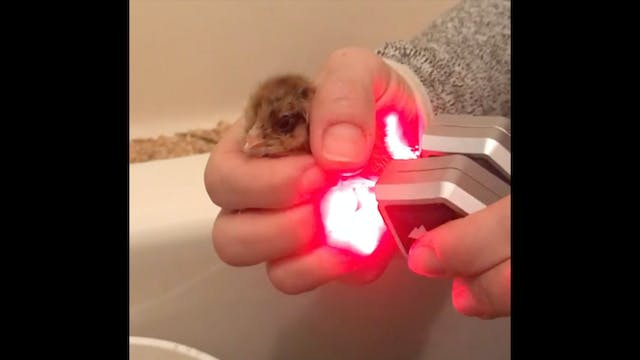Laser Success Story - Honey the Chick
