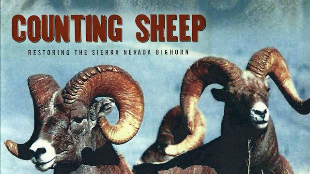 COUNTING SHEEP: Restoring the Sierra Nevada Bighorn