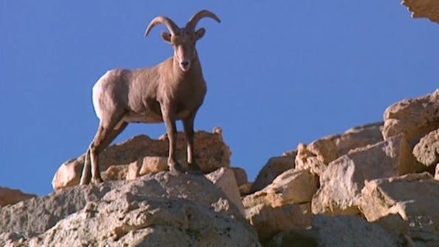 PREVIEW Counting Sheep: Restoring the Sierra Nevada Bighorn