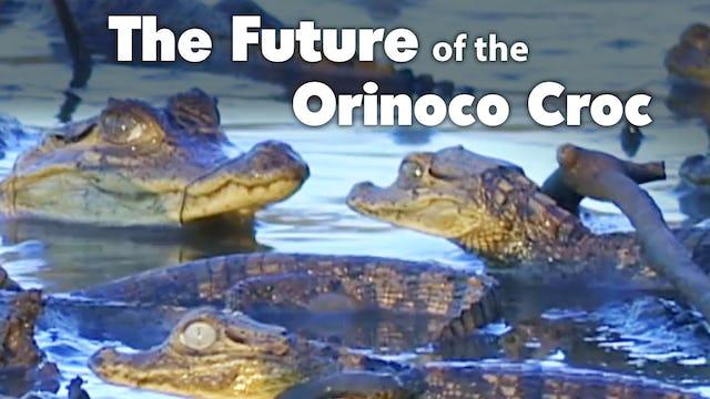 The Future of the Orinoco Croc