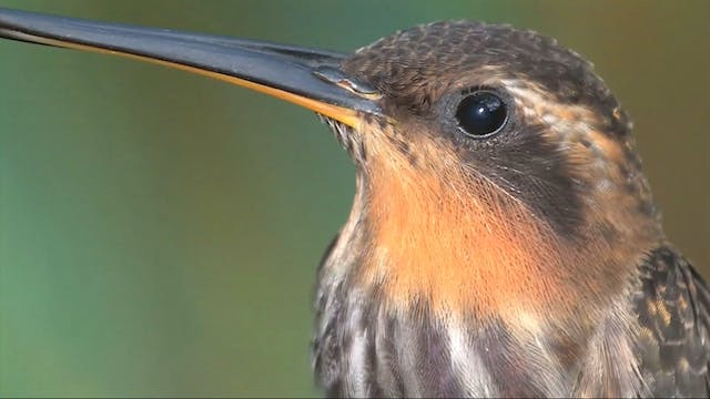 PREVIEW HUMMINGBIRD Field Guide: Part 1