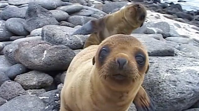 Preview Galapagos: Flora and Fauna
