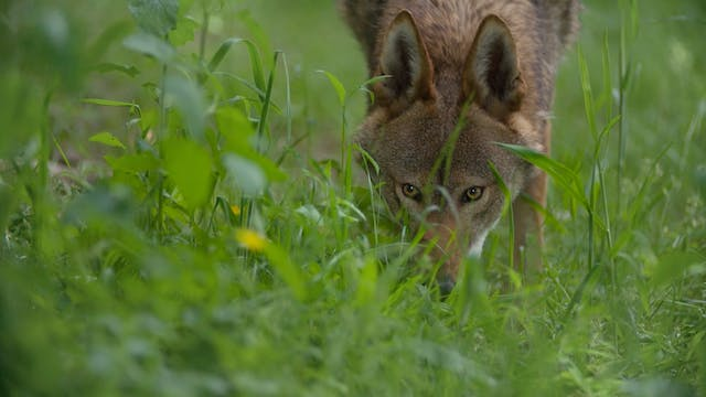 TRAILER Red Wolf Revival