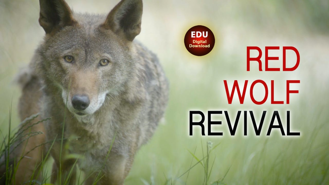 Red Wolf Revival - EDU