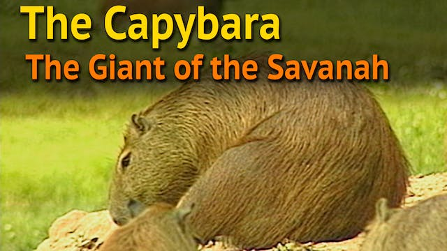 The Capybara, the Giant of the Savannah
