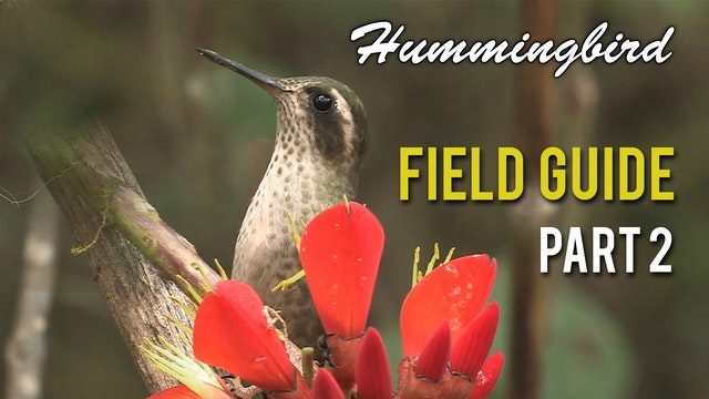HUMMINGBIRD Field Guide: Part 2