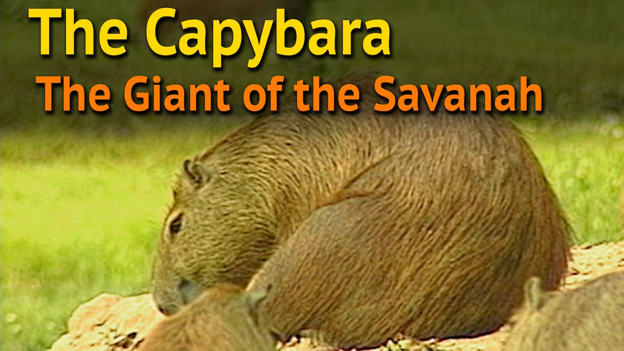 THE CAPYBARA The Giant of the Savannah