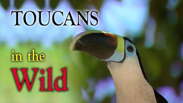 TOUCANS in the Wild
