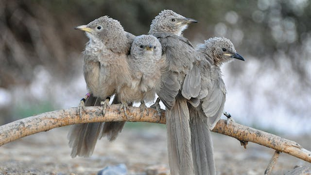 PREVIEW Why Help? The Story of the Babblers