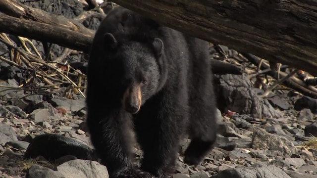 On Your Own Adventures: Season 3, Episode 9 - Alaska Black Bear