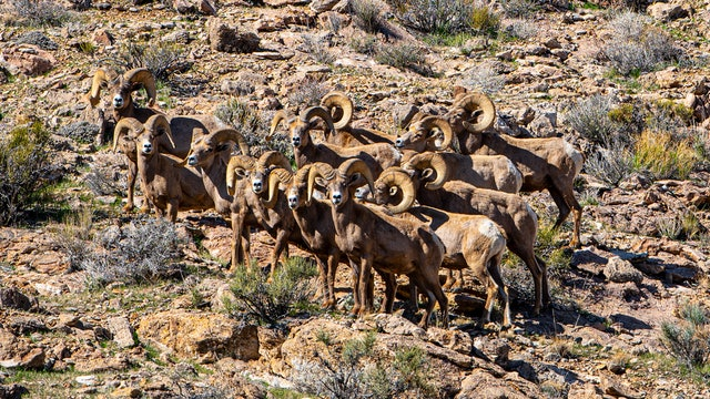 Selfless – A Story of Wild Sheep Advocacy