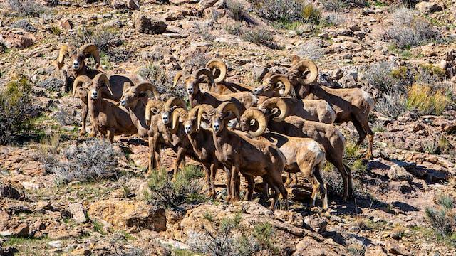 Selfless – A Story of Wild Sheep Advo...