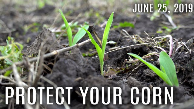 Winke's Blog: Protect your Corn Plots