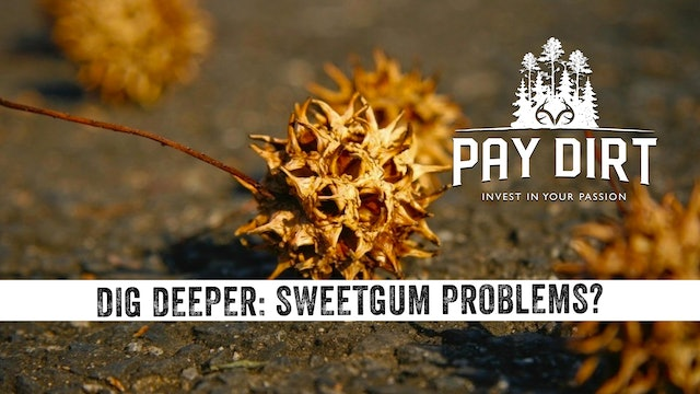 Dig Deeper: Need To Get Rid of Sweetgum Trees? Watch This.