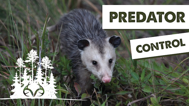Trapping Furbearers | How to Manage Predators on Your Property | Pay Dirt