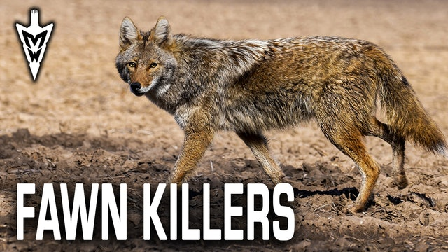Chasing Fawn Killers, Tips for Summer Hunting | Midwest Whitetail