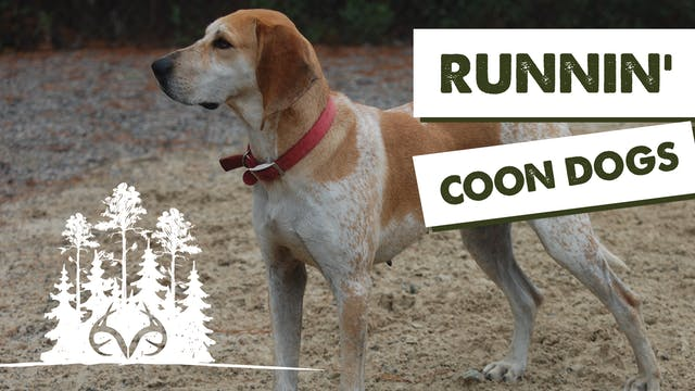 How to Hunt Racoons with Coon Dogs | ...