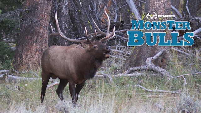 Top Elk Hunt on Public Land | Wyoming Bugling Bulls at 50 Yards