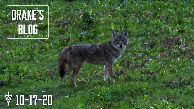 Drake's Blog: Coyote Eats Turnips? | What Is This?