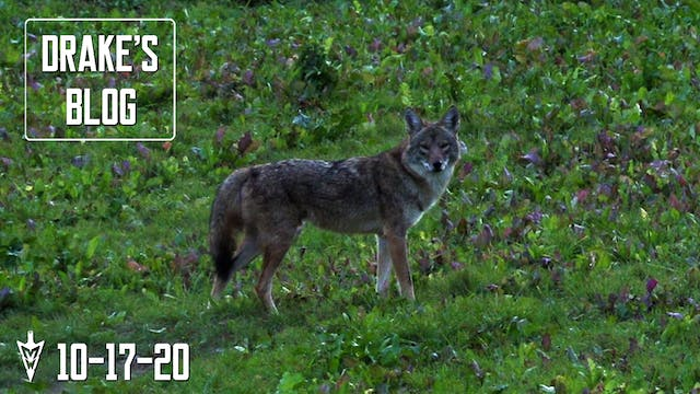 Drake's Blog: Coyote Eats Turnips? | ...