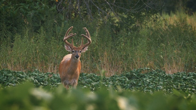 8-21-17: Velvet Bucks | Deer-Proof Food Plots