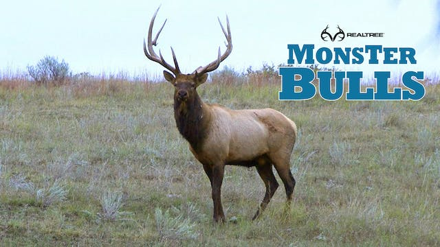 Team Work On A Giant Montana Bull