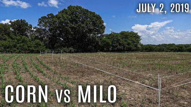 Winke's Blog: Corn vs Milo – Which is...