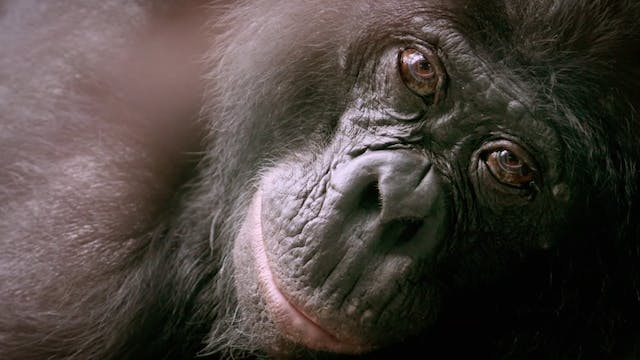 The Bonobo Connection