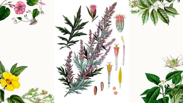Herb Magic Lesson 9: Mugwort
