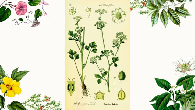 Herb Magic Lesson 11: Celery seed