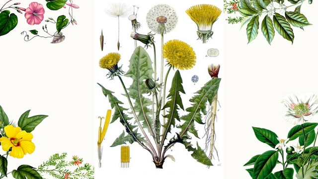 Herb Magic Lesson 13: Dandelion