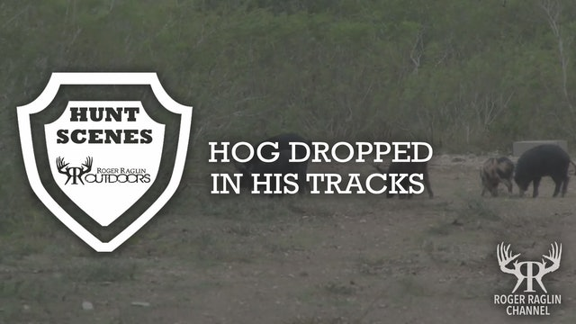 Hog Dropped in His Tracks • Hunt Scenes