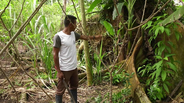 Crops that combat climate change in the Amazon