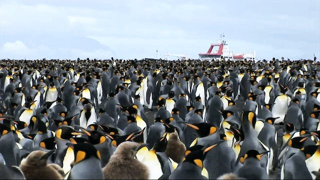 The King Penguin and the Bacteria