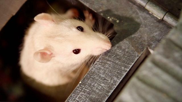 MOSES | Rat Training