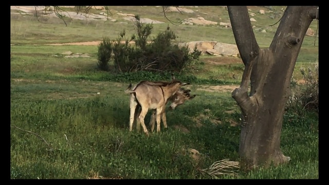 Amorous Wild Donkeys Moreno Vally CA