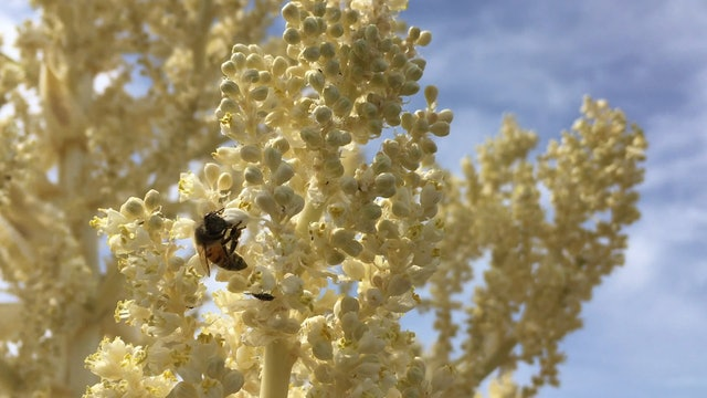 Bee on Yucca Blossom