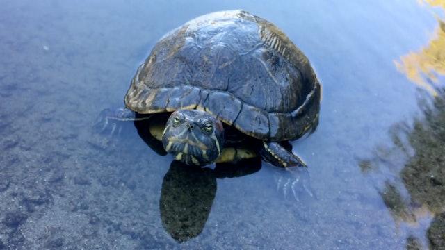 Turtle then duck
