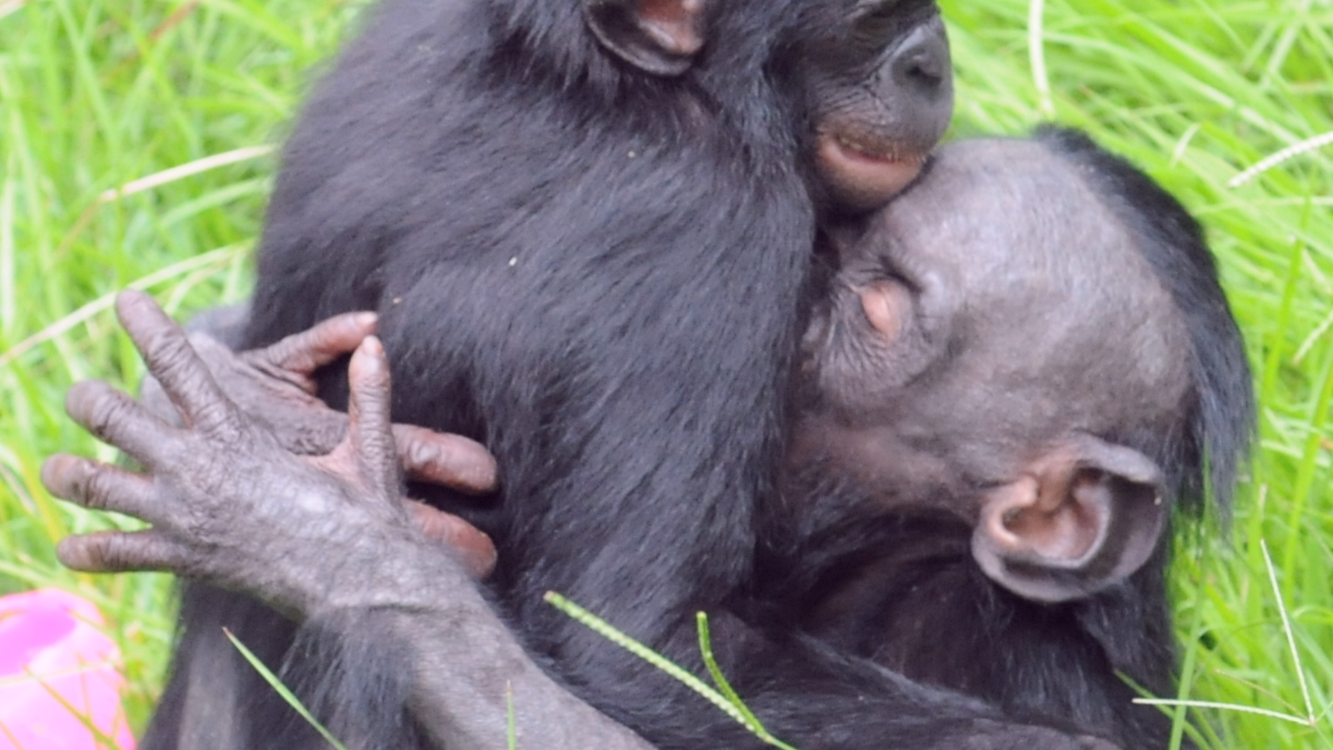 Growing Up Bonobo: Photographer Marian Brickner