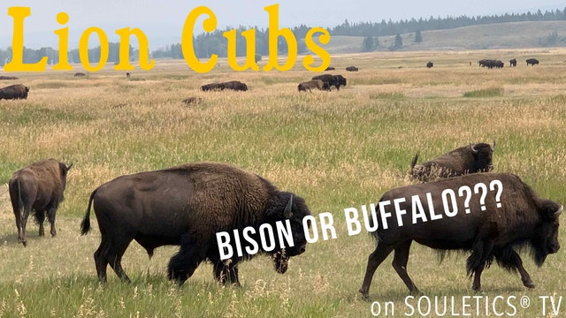 Bison or Buffalo? Lion Cubs Explain the Difference