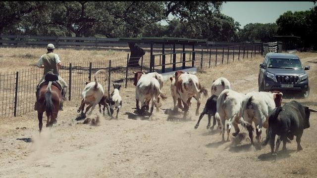 Episodio 3: Perera prepara los toros para la tienta