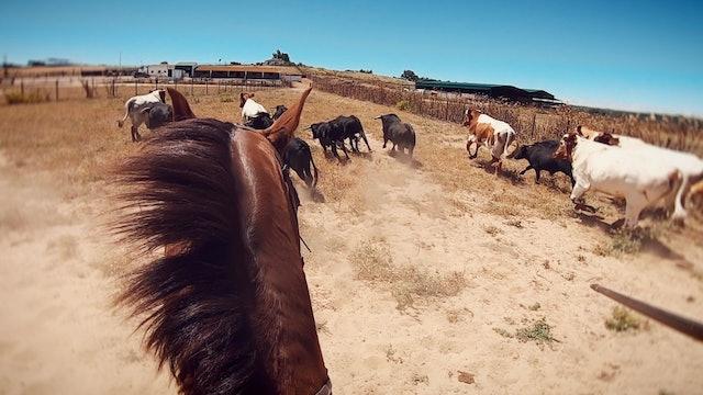 Episodio 2: Perera aparta el ganado y los conduce hasta los corrales