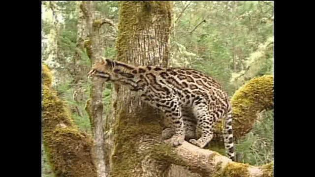 Big Cats | Creation's Creatures
