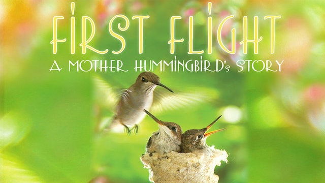 First Flight - A Mother Hummingbird's Story