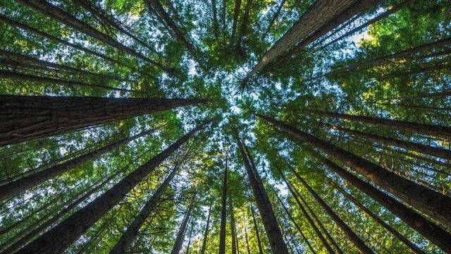 Redwood Forest Guided Meditation